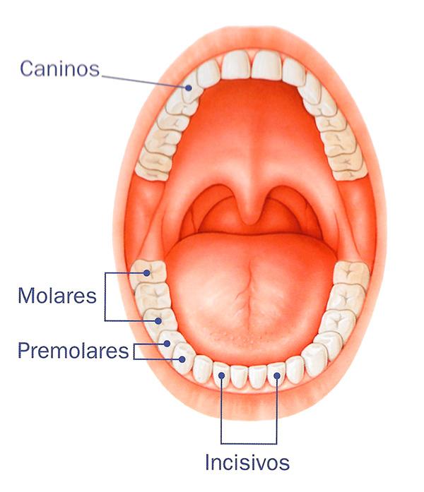 caninos molares incisivos
