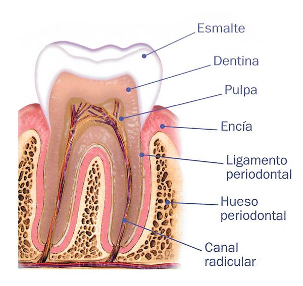 esmalte dentina pulpa encia